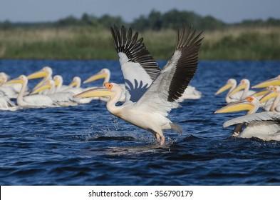 Pelican taking off, on a lake in the Danube Delta, Romania