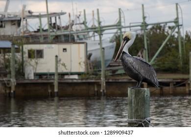 Pelican at Tarpon Springs