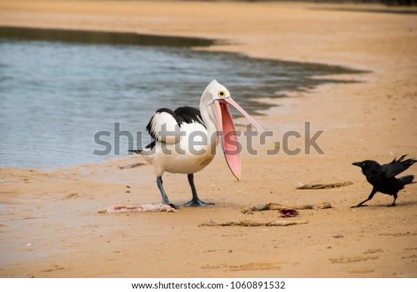 Pelican vs Crow