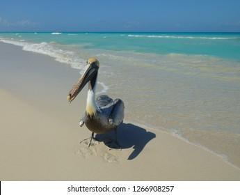 Pelican walks on the beach of Varadero in the waves of the Atlantic Ocean. Sunny Cuban beach. Azure sea. Pelican and ocean.