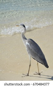 Pelican walks on the ocean beach