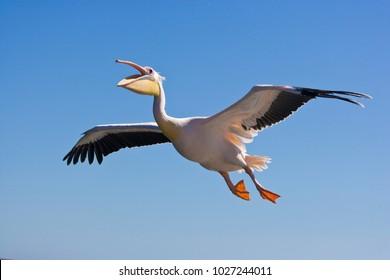 Pelican at Walvis Bay, Namibia