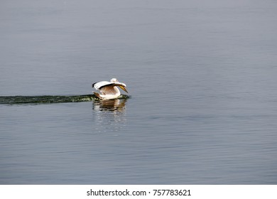 pelican is watered by the lake Israel migration time wallapaper