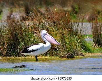 Pelican in wetlands