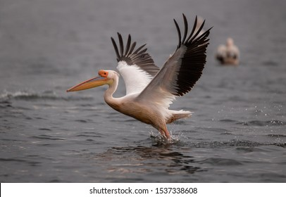 Pelicans in the Danube delta Romania. White pelicans flying in the Danube Delta Biosphere Reserve in Romania.