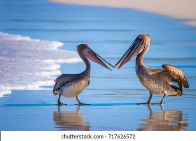 Pelicans divide the fish. Two pelicans. Pacific Ocean. Ecuador. The Galapagos Islands.