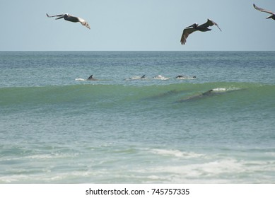 pelicans and dolphins at play