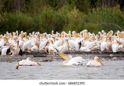 Pelicans, Ethiopia