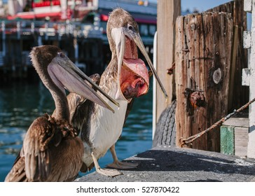 Pelicans feeding on fish leftovers. Monterey Pier, California, USA