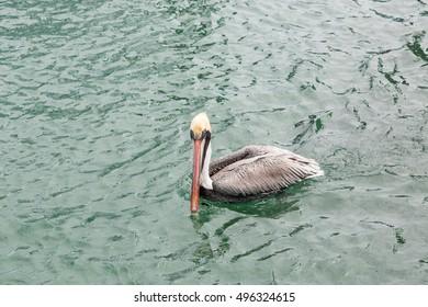 Pelicans feeding on fresh fish at a fishing harbor