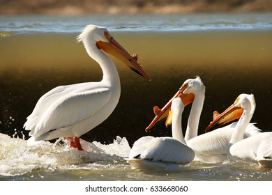 Pelicans fishing at the Weir - American White