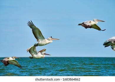 Pelicans in flight. Caspian Sea. Atyrau Region. Kazakhstan.
