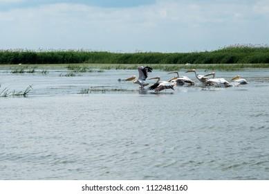 Pelicans fly over the Danube Delta, Odessa Region, Ukraine, June 2018
