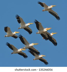 pelicans flying against the blue sky (pelecanus onocrotalus)