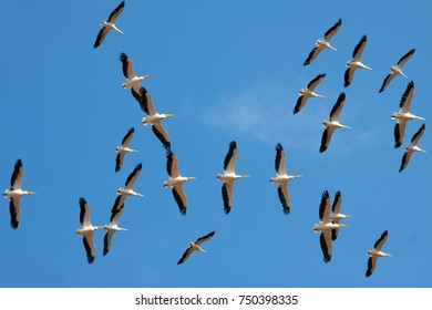 Pelicans flying. Formation of pelicans flying for food