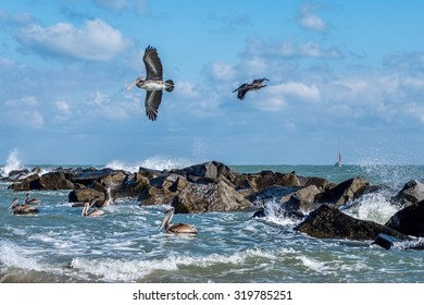 Pelicans at the Fort Pierce inlet, Florida. The Florida Brown Pelican (Pelecanus Occidentalis) is  the smallest of all pelicans in the United States