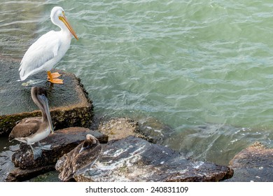 Pelicans at Galveston Island, Texas