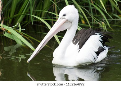 Pelicans are a genus of large water birds that make up the family Pelecanidae.