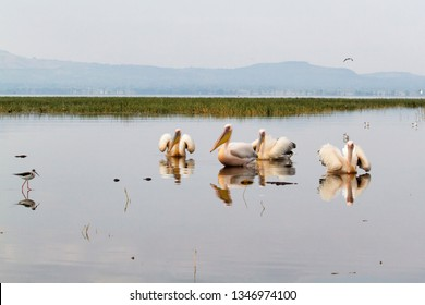 Pelicans (Great White Pelican) in the morning in Lake Awassa close to the fishing market of Awassa in Ethiopia