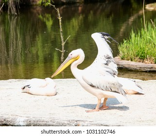 Pelicans near the water, entire view, horizontal image