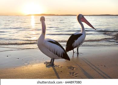 Pelicans in Nelson Bay, Australia.