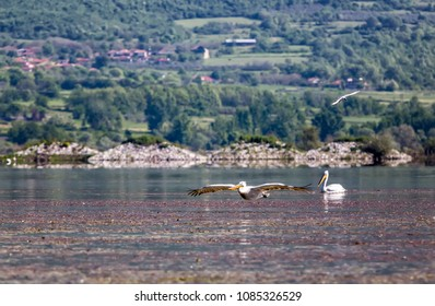 pelicans on the boat in the middle of Kerkini lake,Greece