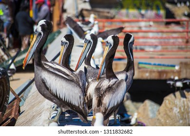 Pelicans on the fish market waiting for food in Valparaiso, Chile, South America