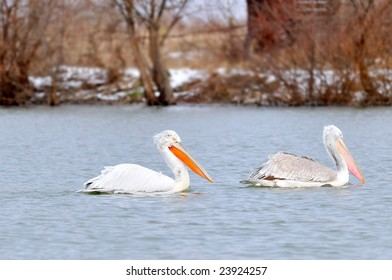 pelicans on the lake (pelecanus onocrotalus)