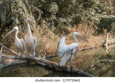 Pelicans on the river. Wildlife. Waterbird.