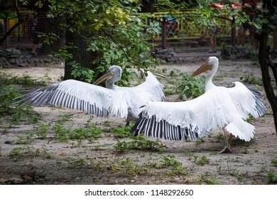 Pelicans on takeoff. Seabirds pelicans.