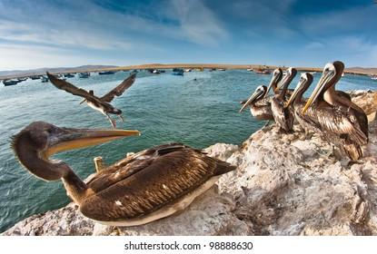 Pelicans in Paracas, Ica, Peru