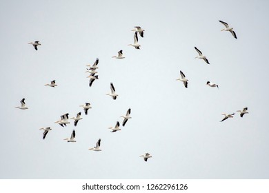 Pelicans, Pelecanus erythrorhynchos, fly over the Red River National Wildlife Refuge in northwest Louisiana, U.S.A.