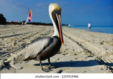 Pelicans (Pelecanus) feel great on a tropical beach in Varadero, Cuba. Numerous tourists admire pelicans, feed them and take pictures. The pelican on the Varadero beach at the early morning.