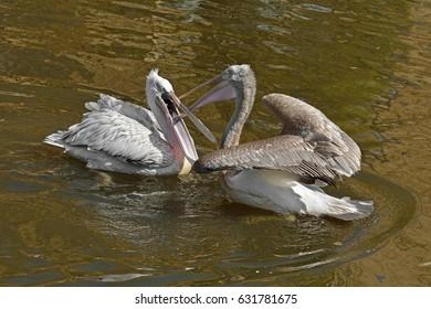 Pelicans (Pelecanus). Fighting