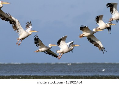pelicans ( pelecanus onocrotalus ) flying in a beautiful formation