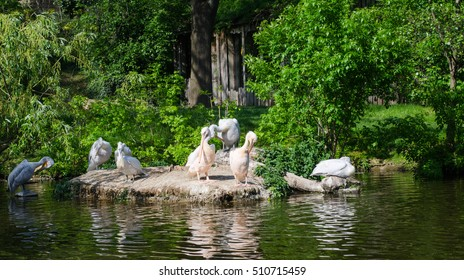 pelicans pond, prinking pelicans