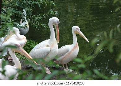 pelicans resting by the water