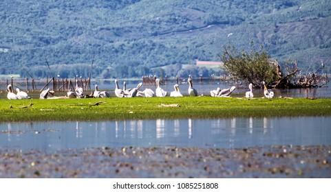 Pelicans resting at lake Kerkini, Serres, Macedonia, Greece.