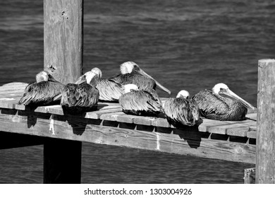 Pelicans resting on the dock Florida, USA