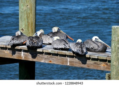Pelicans resting on river dock Florida, USA