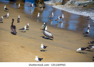 Pelicans and seagulls on the beach in Valparaiso, Chile