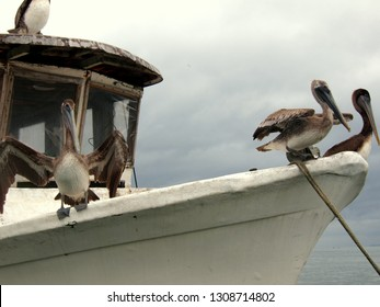 Pelicans sitting on a white front of a simple ship. Overcast day. Taken near Livingstone, Caribbean side of Guatemala. Early January.