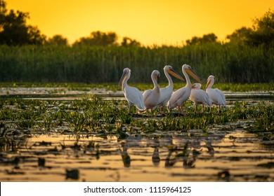 Pelícanos al atardecer en el Delta del Danubio, Rumania
