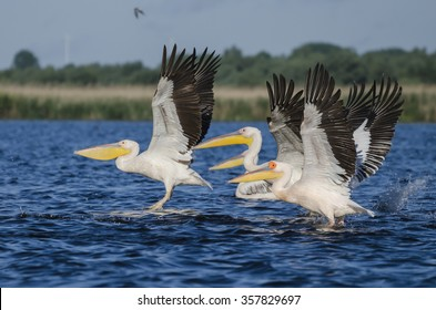 Pelicans taking off in a synchronous flight, on a lake in the Danube Delta, Romania