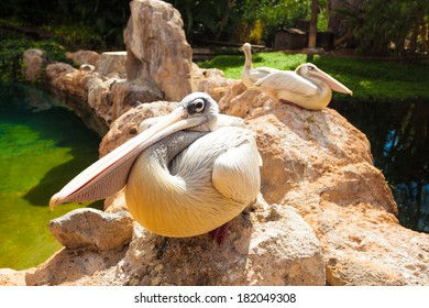 Pelicans. Three big white pelicans sit on stones