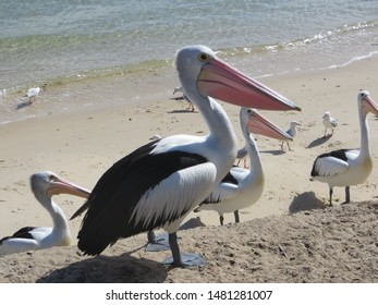 Pelicans waiting patiently for the fishermen at Bribie Island