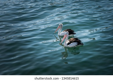 Pelicans at Watson Bay, Sydney, Australia
