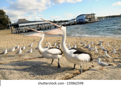 Pelicans at Watson's Bay, Australia