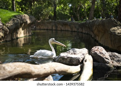 Pelikan swimming in pond close up