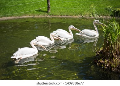 Pelikans swimming in pond close up